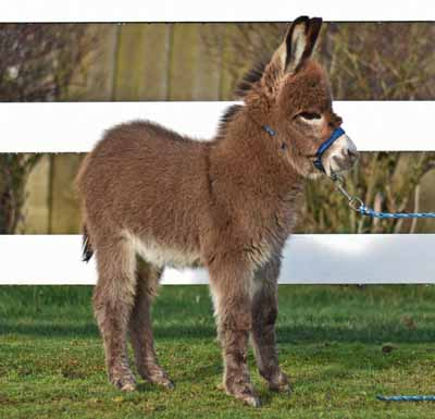 Brown donkey in pearls